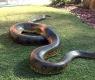 Real Life Giant Anaconda