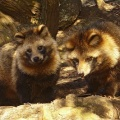 Raccoon Dog at Fukuyama